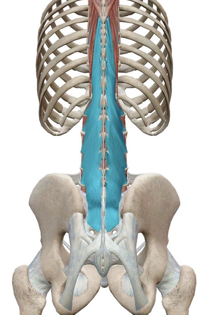 多裂筋 腰痛がある人なら知っておいて損はない筋肉かも!? | ヨガウエア・ヨガグッズのセレクトショップ|Be FUN!